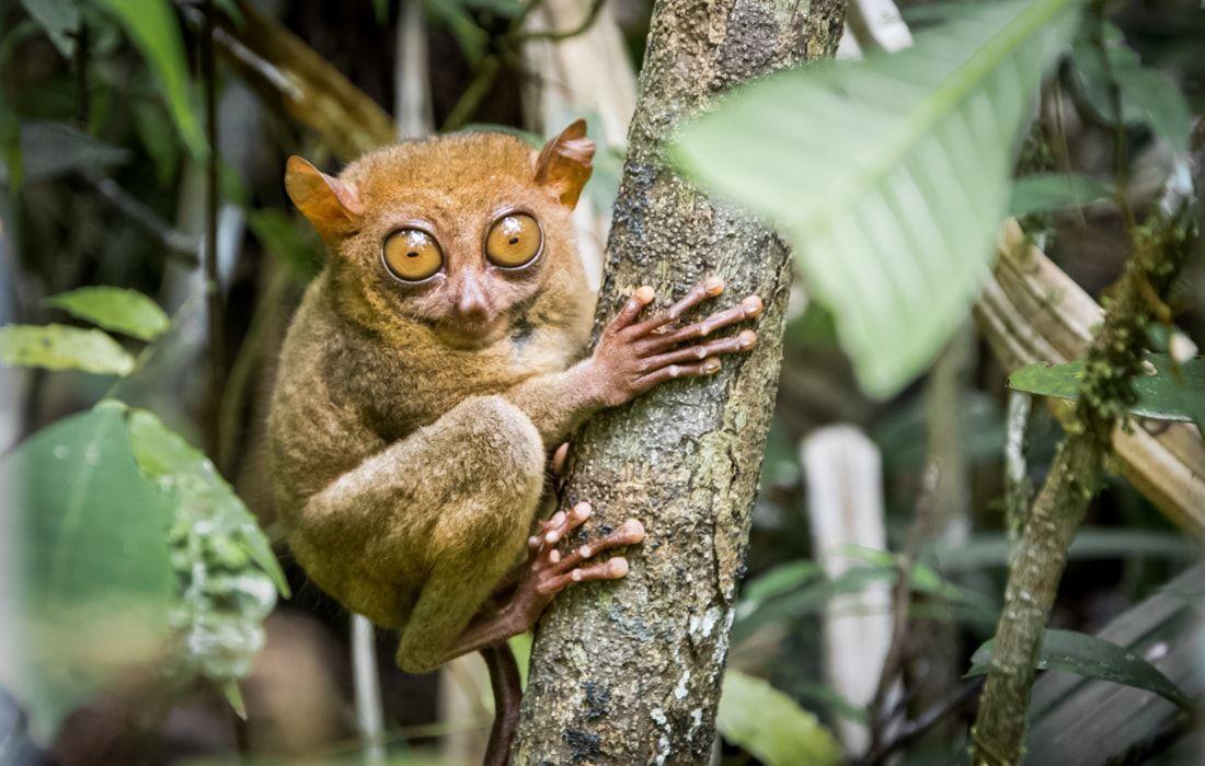 Bohol tour tarsier